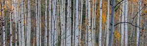 Birkenwald Baumstamm