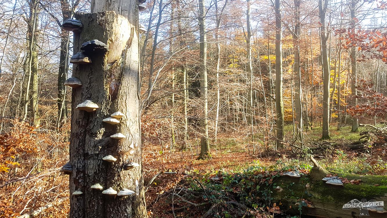 Baumpilz Nationalpark Eifel Wilder Kermeter Buchenwald Buntsandsteinroute Wanderweg