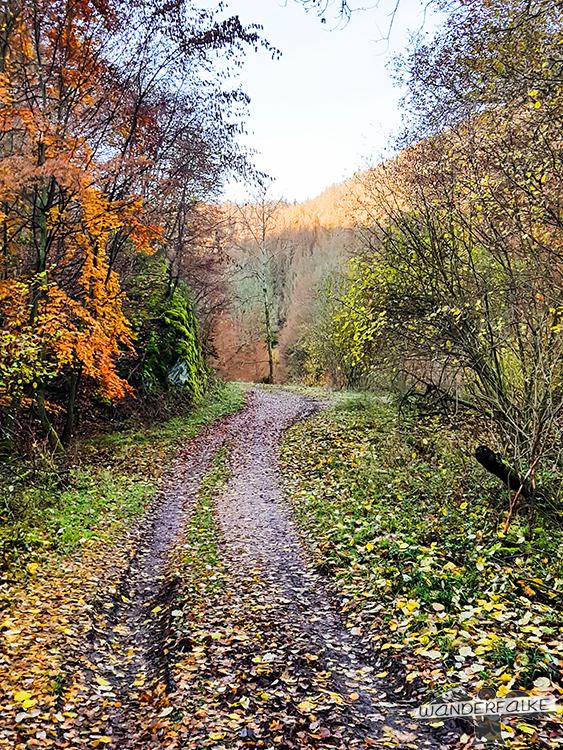 Buchenwälder im Nationpark Eifel in Herbstfarben