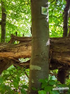 umgestürzte Bäume Felsenweg Teufelsschlucht Ernzen Echternach NaturWanderPark delux Wanderfalkeonline wandern